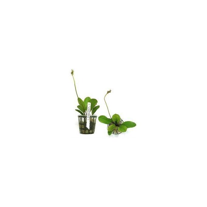 Planta N Echinodorus Kleinei Bar Tk