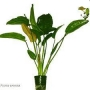 Planta N Echinodorus Oriental Tk