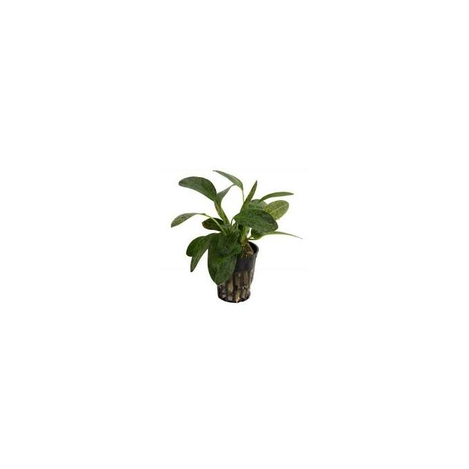 Planta N Echinodorus Ozelot Tk