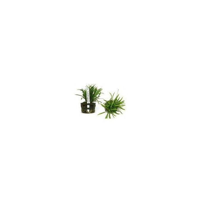 Planta N Echinodorus Sp Brasilia Tk