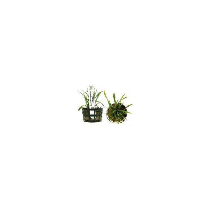 Planta N Echinodorus Tenellus Blood Tk