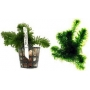 Planta N Egeria Densa Tk