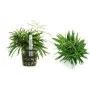 Planta N Eusteralis Stellata Tk