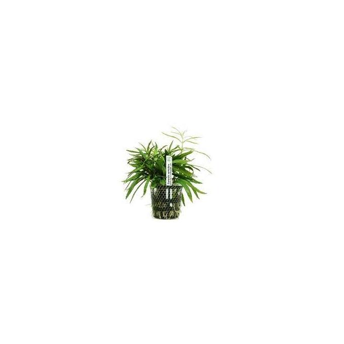 Planta N Eusteralis Verticillata Tk