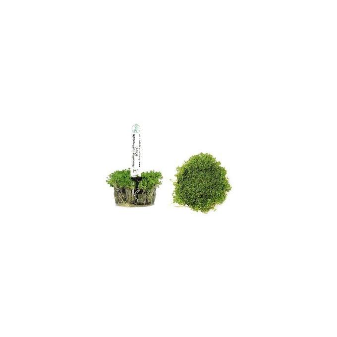 Planta N Hemianthus Calitricoides Tk