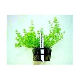 Planta N Hemianthus Micranthemoides Tk
