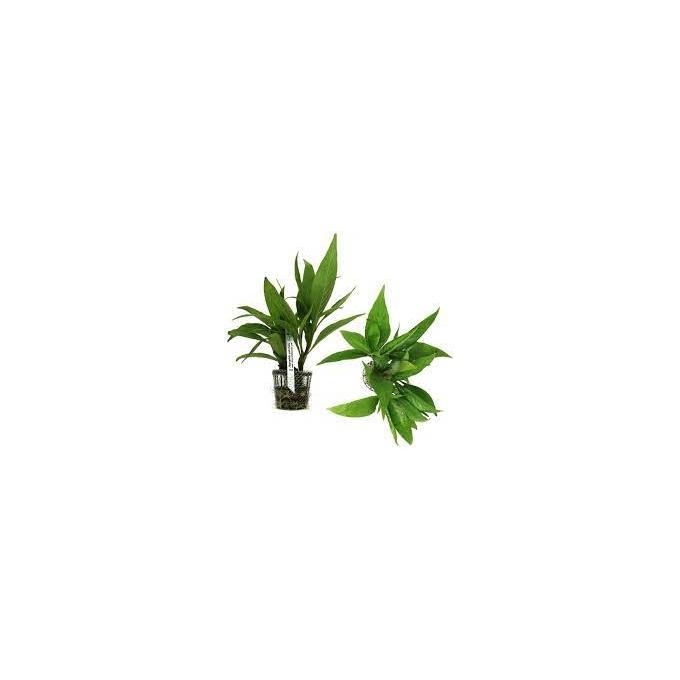 Planta N Hygrophila Sp Araguaia Tk