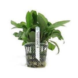 Planta N Hygrophyla Corymbosa Tk