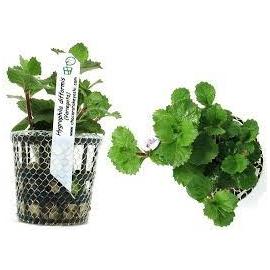 Planta N Hygrophila Difformis Tk