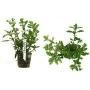 Planta N Hygrophyla Pinnatifida Tk