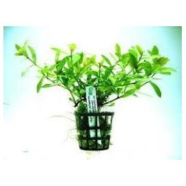 Planta N Hygrophyla Rosanervis Tk