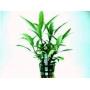 Planta N Hygrophyla Stricta Tk