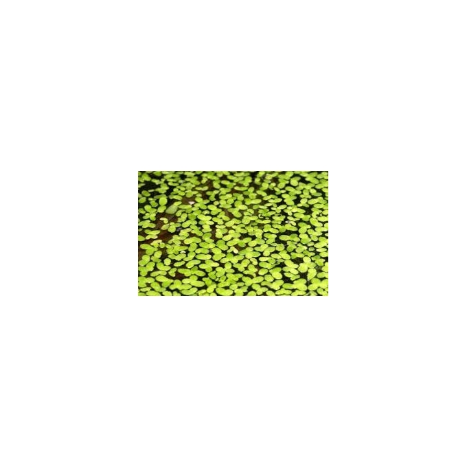 Planta N Lentilha D´agua Porção