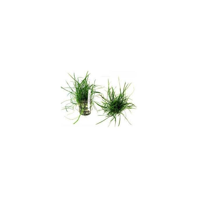 Planta N Lilaeopsis Mauritiana Tk