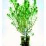 Planta N Liminophila Sessiliflora Tk