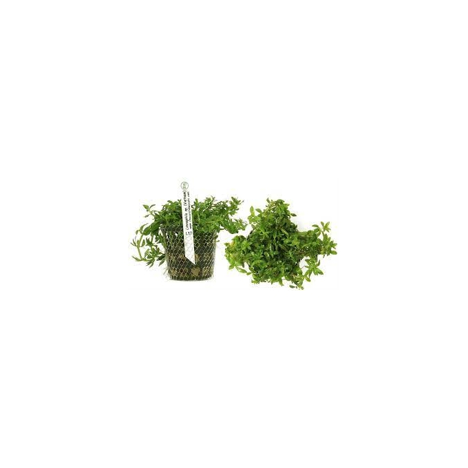 Planta N Liminophila Sp Vietnam Tk