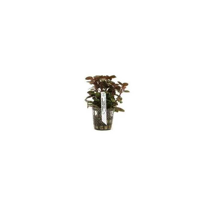Planta N Lobelia Cardinales Tk