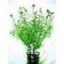 Planta N Ludwigia Arcuata Tk