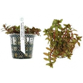 Planta N Ludwigia Inclinata Tk