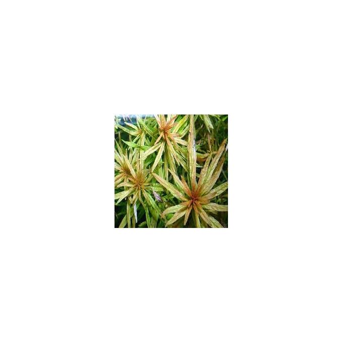 Planta N Ludwigia Inclinata
