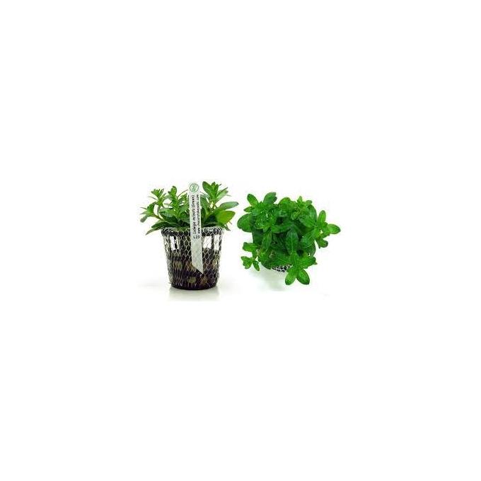 Planta N Ludwigia Inclinata Green Tk