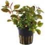 Planta N Ludwigia Rep Rubi Tk