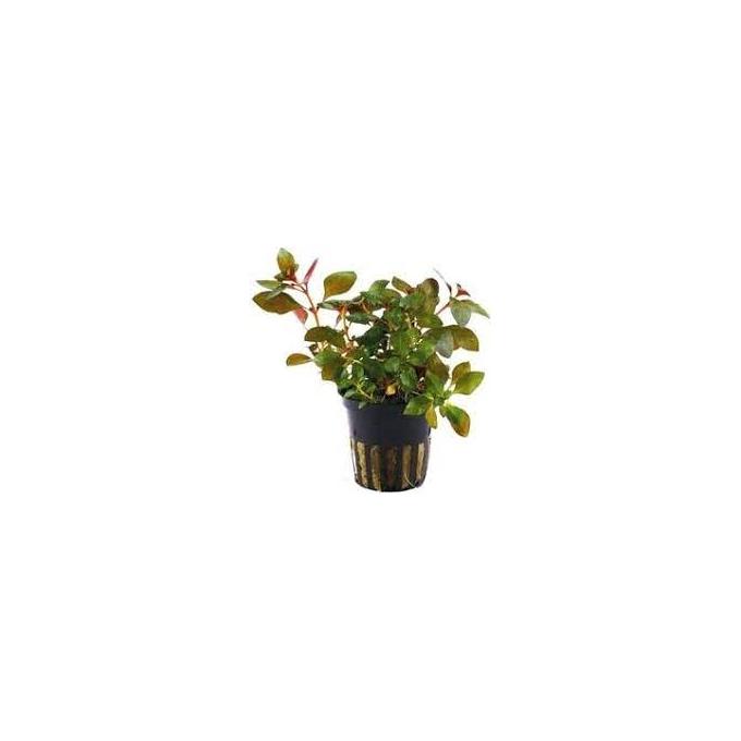 Planta N Ludwigia Repens Tk