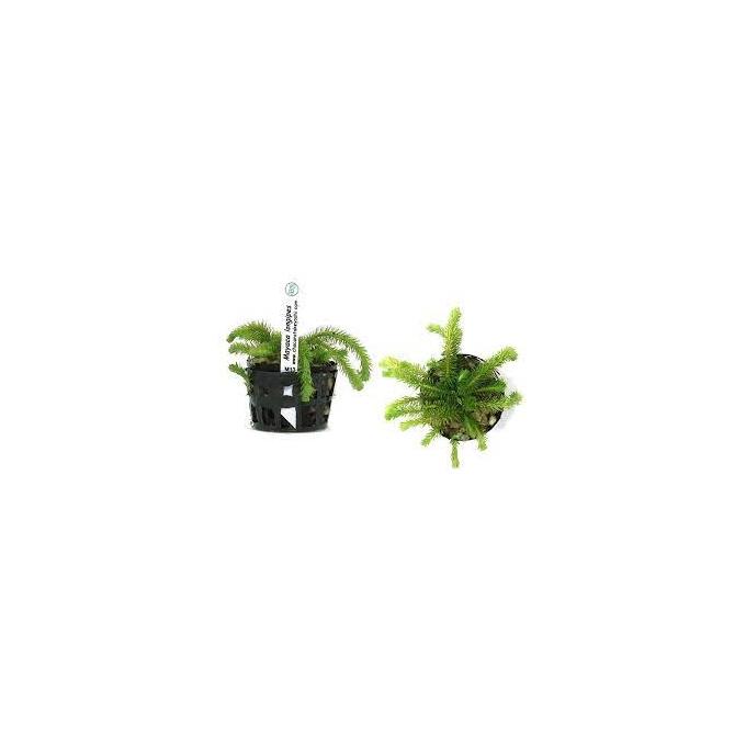 Planta N Mayaca Longipes Tk