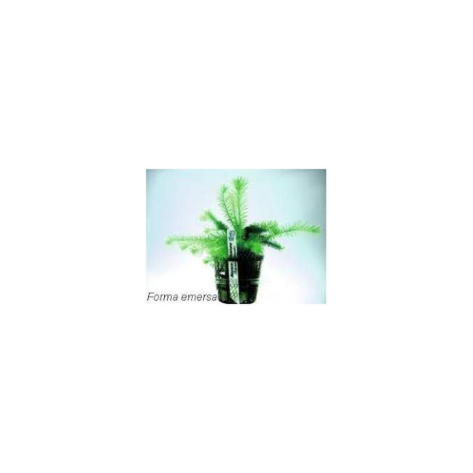 Planta N Mayaca Sellowiana Tk
