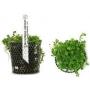 Planta N Micranthemum Umbrosum Tk
