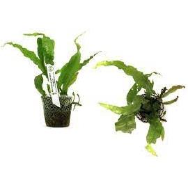Planta N Microsorum Pteropus Tropica Tk