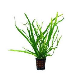 Planta N Microsorum Wave Leaf Tk