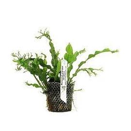 Planta N Microsorum Windelov Tk