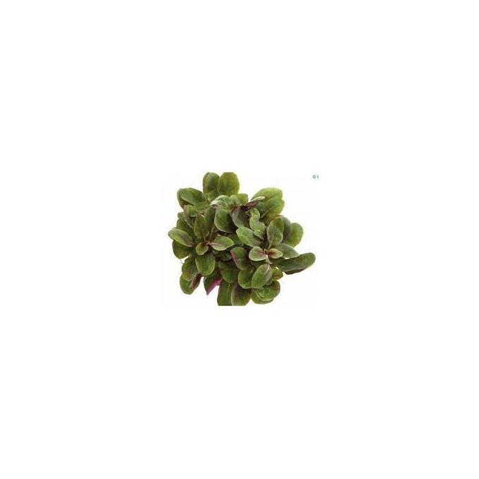 Planta N Mini Lobelia Cardinales
