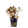 Planta N Mini Ludwigia Red