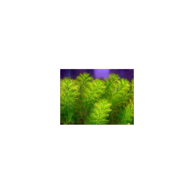 Planta N Myriophyllum Aquatico