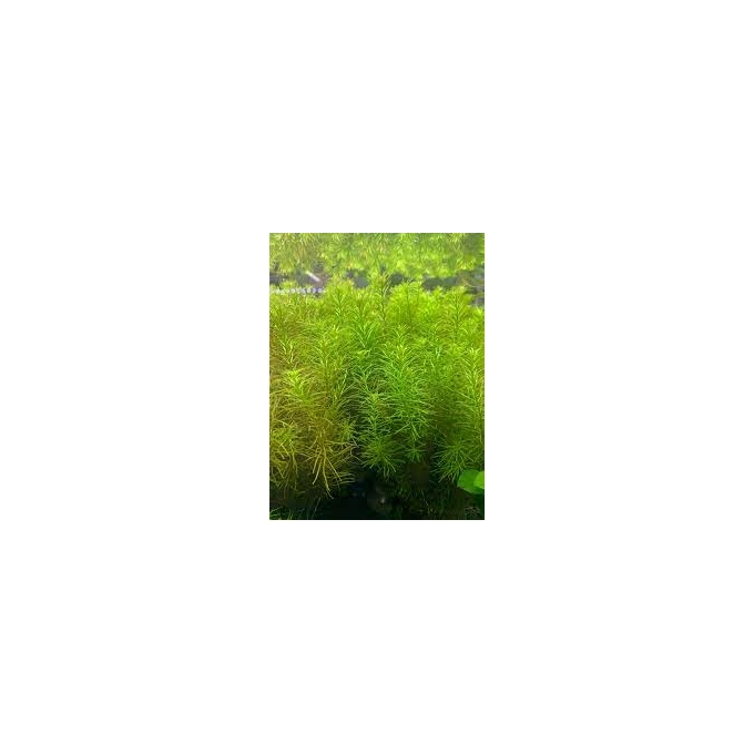 Planta N Rotala Nanjenshan