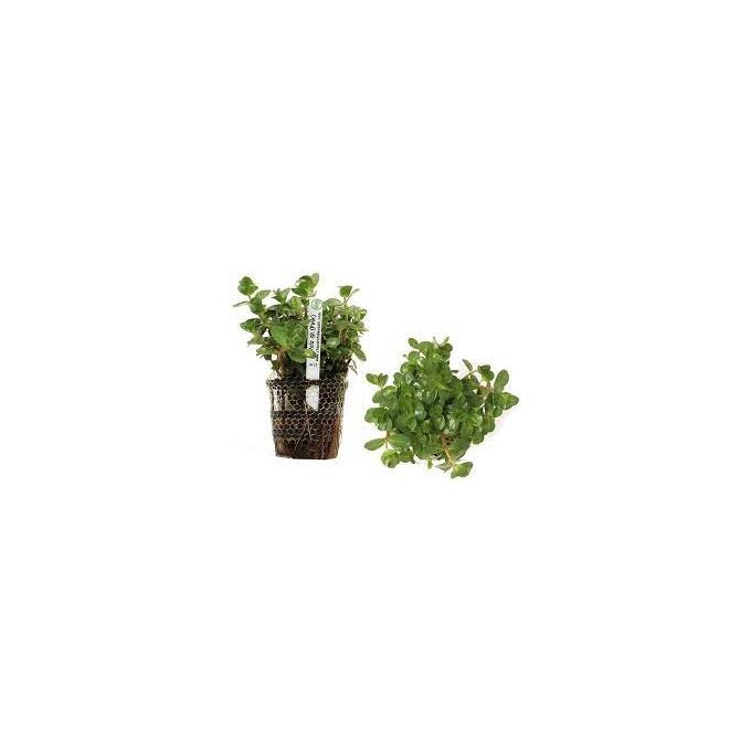 Planta N Rotala Sp Pink Tk