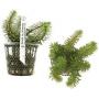Planta N Rotala Sp Vietnam Tk