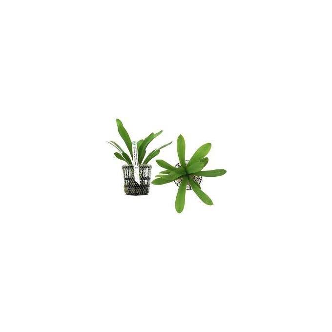 Planta N Sagitaria Graminea Tk