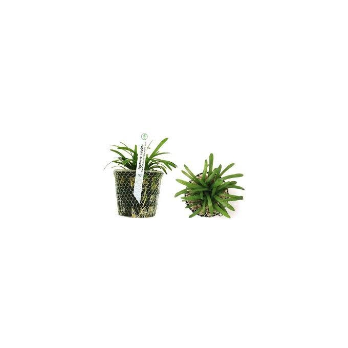 Planta N Sagitaria Subulata Tk
