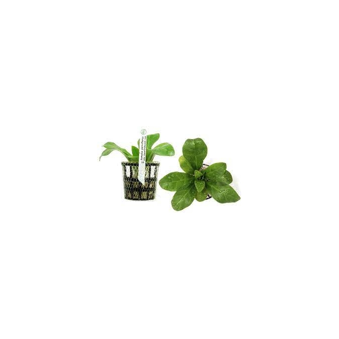 Planta N Samulos Parviflorus Tk