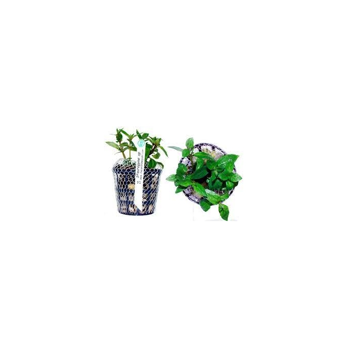 Planta N Staurogyne Sp Tk