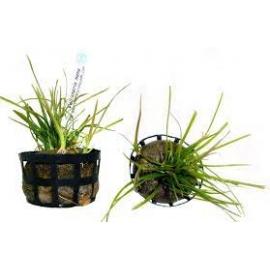 Planta N Vallisneria Nana Tk