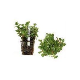Planta N Polygonum Sp Pink Tk