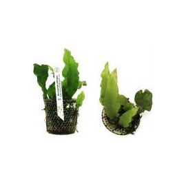 PLANTA N MICROSORUM PTEROPUS TK