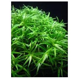 planta n heteranthera zosterifolia