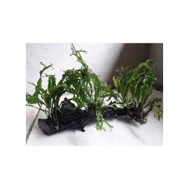 planta n microsorum tronco
