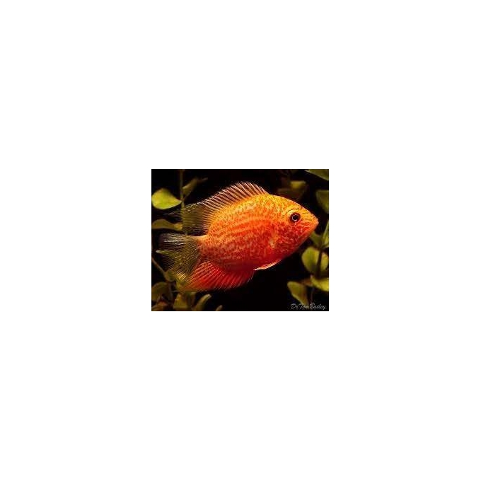 Acará Severum Red Spotted