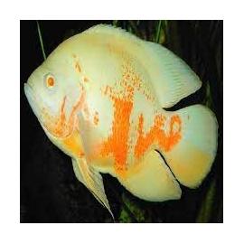 oscar albino md